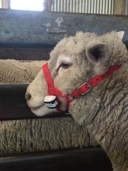 SheepWithActivityMonitor